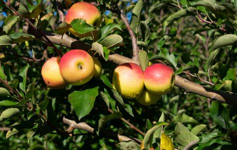 Oodles of Apples