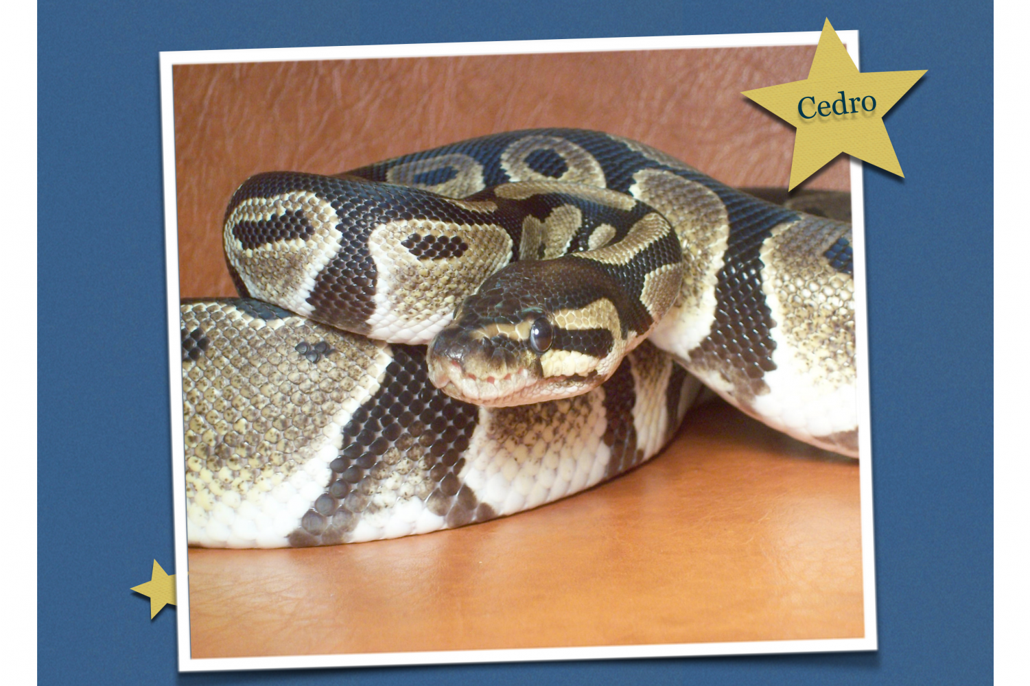 The Science department is looking to find a home for their ball python, Cedro.